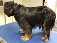 Black and tan dog before grooming