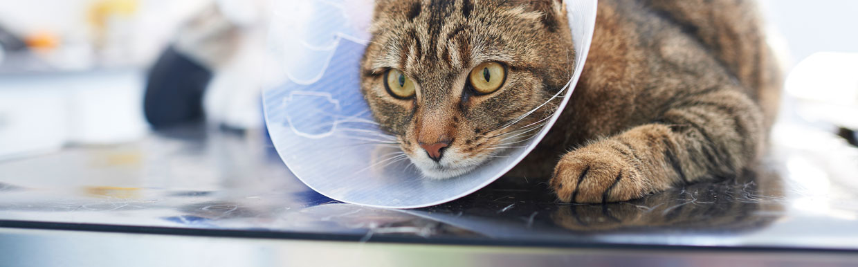 Neutering your cat